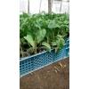 Продам рассаду овощей